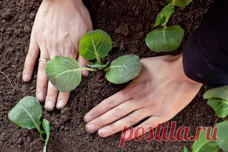 Простые советы как ухаживать за рассадой капусты после высадки в грунт, чтобы получить большой урожай. | Огород на 6 сотках | Яндекс Дзен