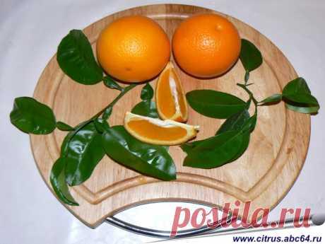 Все об апельсинах, выращивание апельсина, комнатный апельсин, сорта апельсинов, как вырастить апельсин на окне, как выбрать сорт апельсина