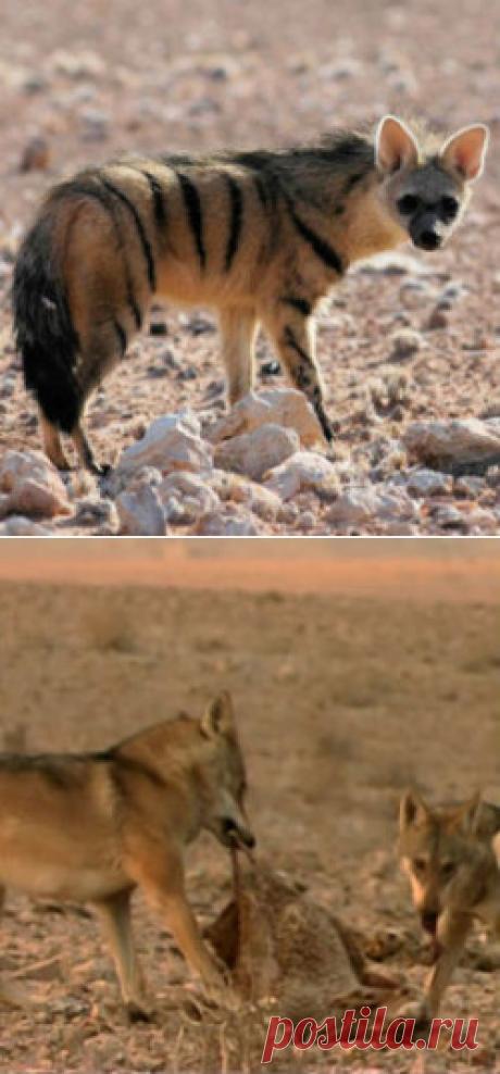 Необычный альянс гиен и волков | Все умницы