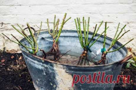 Как пересадить взрослую розу на новое место Садоводам порой приходится пересаживать не только молодые растения, но и те, которые уже не один год красуются на участке. И на то могут быть разные причины. В этой статье мы расскажем, как правильно ...