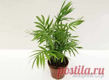 Пальма хамедорея: уход