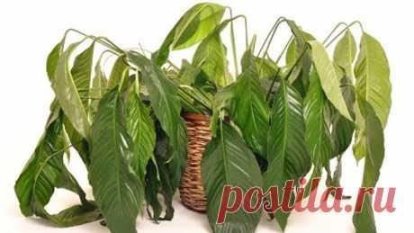 Как оживить ПОГИБАЮЩЕЕ комнатное растение