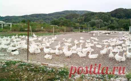 Гуси как бизнес: мой опыт заработка на гусях Разведение гусей как бизнес в селе, делюсь своим опытом. Практические советы с чего начать гусиный бизнес, выгодно это или нет. Зарабатываем на мясе и на продаже породистых гусят.