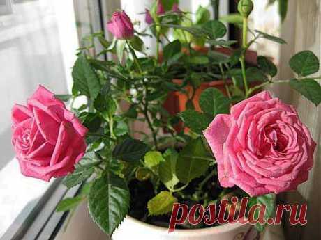 Как вырастить розу из срезанного цветка? .