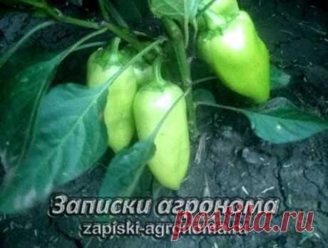 Как выращивать перец в открытом грунте • zapiski-agronoma.ru