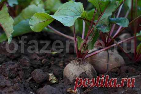 Выращиваем свеклу на сорняках | О Фазенде. Загородная жизнь | Яндекс Дзен