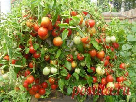 Ленивый способ выращивания отборных помидоров | дача🍎 | Яндекс Дзен