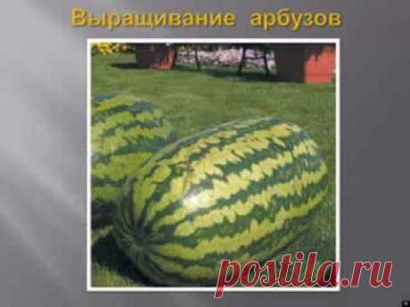 Выращивание арбузов и дынь - YouTube
