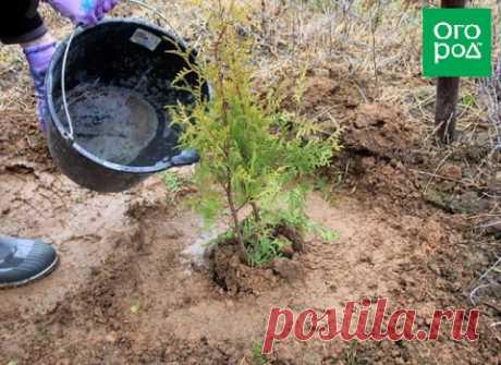 Как посадить тую в открытый грунт осенью   Хвойные (Огород.ru)