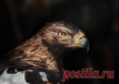 Пронзительный взгляд императорского орла. Автор кадра – Олег Богданов: nat-geo.ru/community/user/163720