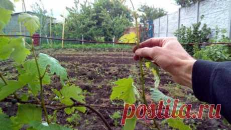 Обрезка кустов винограда весной и осенью для начинающих: фото, видео, правила формирования куста