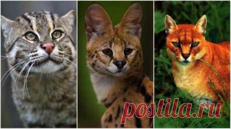 10 классных диких кошек, о которых мало кто знает - С нами не соскучишься! - медиаплатформа МирТесен Когда мы говорим о диких кошках, на ум сразу приходят львы и тигры — самые большие их представители. Однако в мире существует большое количество гораздо более мелких, но не менее интересных видов кошачьих, о которых многие даже не слышали.Кот-рыболовПотрясающе красивая дикая кошка, которая обитает