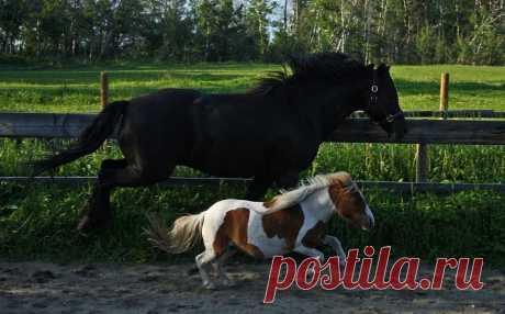 Los caballos minúsculos de la raza falabella (24 fotos)   el Diablo toma más minúsculo loshadmi es reconocido en el mundo los representantes de la raza falabella. Es a los animales únicos que se distinguen de la belleza exterior y el carácter asombroso. Los mini-caballos atraen la atención no sólo el crecimiento bajo, sino también la complexión inherente a los caballos ecuestres. A pesar de las dimensiones pequeñas, los representantes de la raza falabella no son al pony. Son distinguidos por la proporcionalidad de la longitud de las extremidades y el cuerpo que harak...