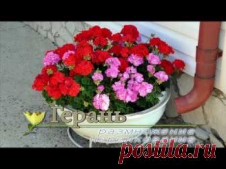 Выращивание пеларгонии из семян в домашних условиях