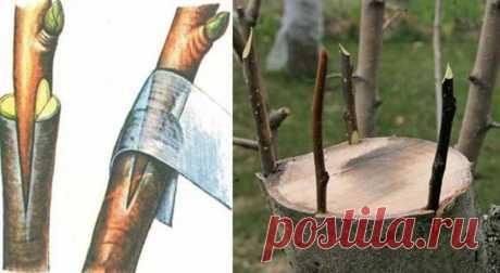Дедовский способ прививки деревьев для большого урожая - Дачный участок - медиаплатформа МирТесен