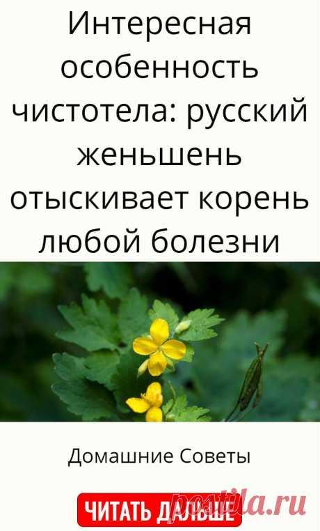 Интересная особенность чистотела: русский женьшень отыскивает корень любой болезни