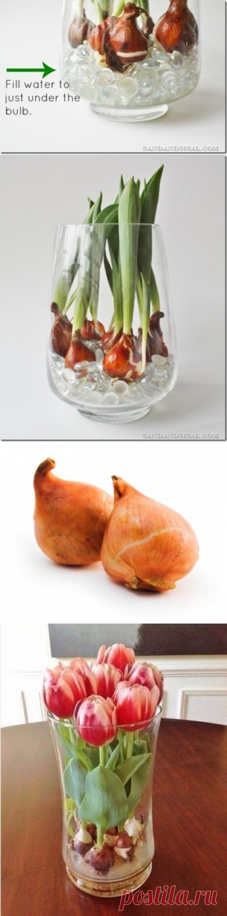 Как вырастить тюльпаны дома в любое время года с помощью стеклянных шариков и воды? — Полезные советы