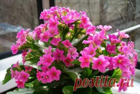 Как добиться цветения каланхоэ — Полезные советы