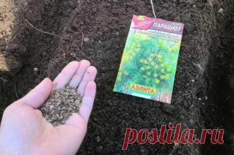 Как посеять укроп в июле, чтобы пышная зелень быстро выросла | Дачные секреты от Виктории Радзевской | Яндекс Дзен