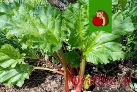 Не знаете куда деть листья ревеня? Вот 5 идей полезного их применения в огороде (не в компост)   садоёж   Яндекс Дзен