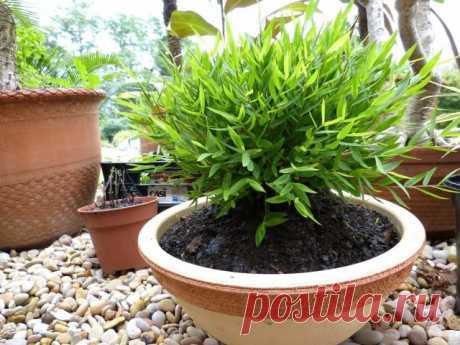 El mini-bambú pogonaterum