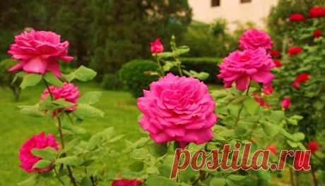 Как правильно укрыть розы на зиму: важные правила садоводства