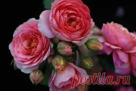 Английские, парковые, шрабы - Роза Амандин Шанэль