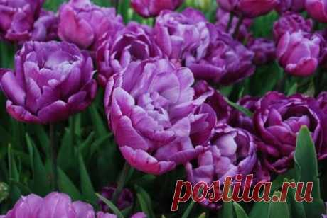 Tyulpany_lukovicy_v_assortimente.jpg (Изображение JPEG, 500×335 пикселов)
