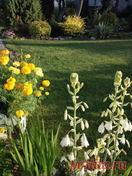 """Выкапываем луковичные цветы (в тепло на """"зимовку"""" :)   Есть время под солнцем   Яндекс Дзен"""