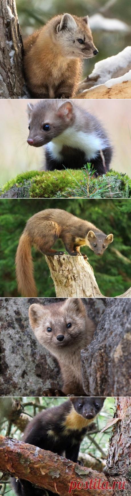 Смотреть изображения куниц | Зооляндия