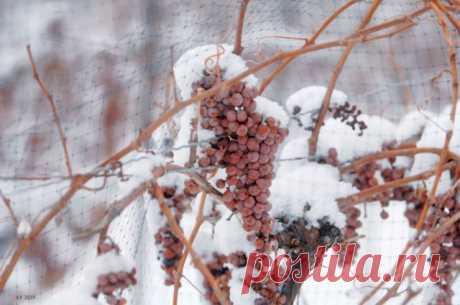 Как укрыть виноград на зиму? - Новий День