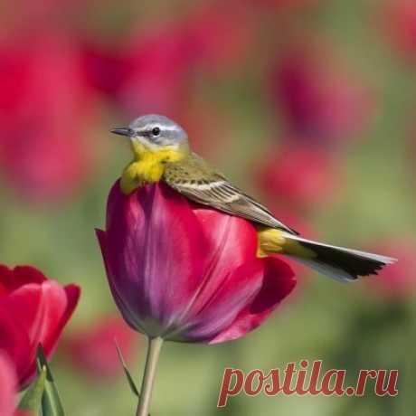 Прелесть! ... :))) Птичка отдыхает в бутоне тюльпана )