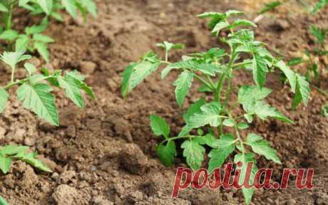 Как уберечь томаты от фитофтороза и кладоспориоза – 7 главных правил профилактики | Томаты (Огород.ru)