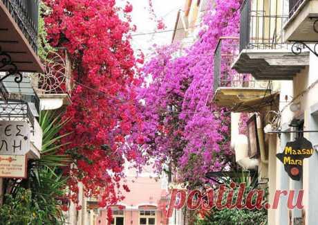 Бугенвилия в цвету - восточная красавица, любуются тобою все и пышностью своею славишься.