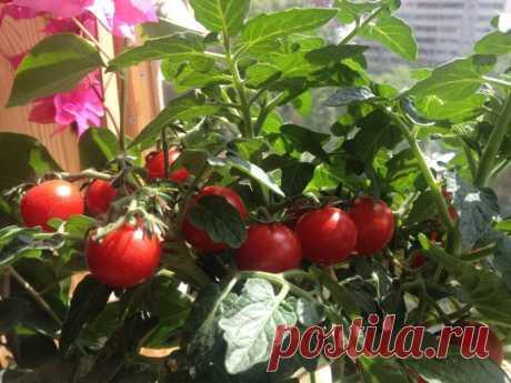 Как вырастить ранние крупные томаты в ведре — Садоводка