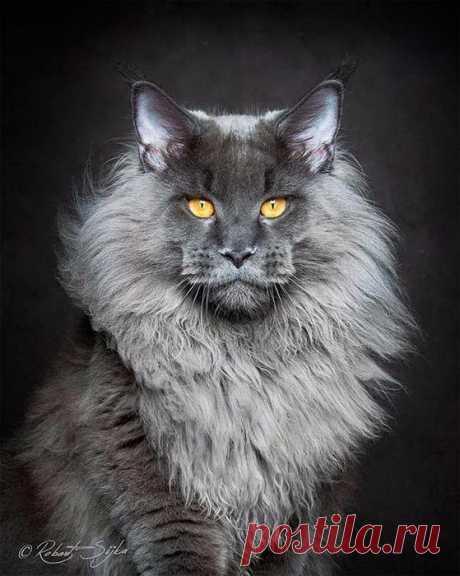 Фото животных: коты породы Мейн-кун в портфолио польского фотографа