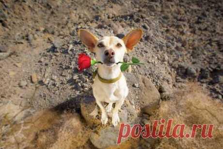 chihuahua podenco dog in love for happy valentines day with petals and rose flower , looking up in wide angle 123RF - Des millions de photos, vecteurs, vidéos et  fichiers musicaux créatifs pour votre inspiration et vos projets.