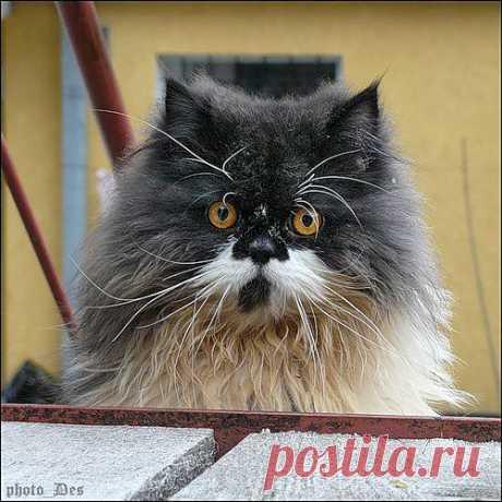 DES9924 — «P1390218аб.jpg» на Яндекс.Фотках Барсик фон Котофеич - красивее кота не встречал.