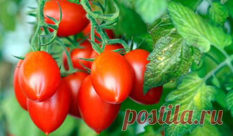 Как получить урожай, которым можно удивить всех? Запомните одно — без внимания к помидорам урожая не будет…