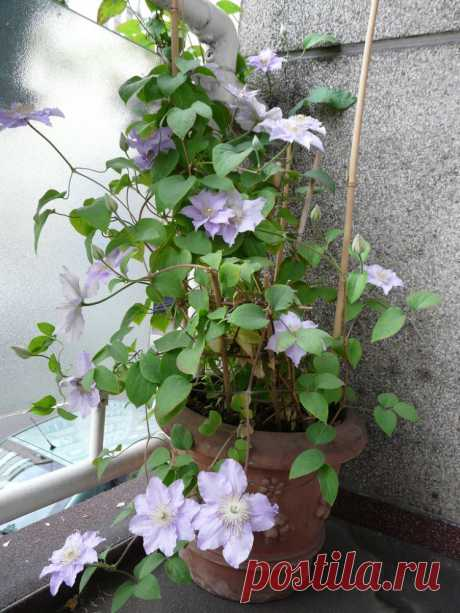 11 вьющихся растений для тенистой беседки на балконе — Roomble.com