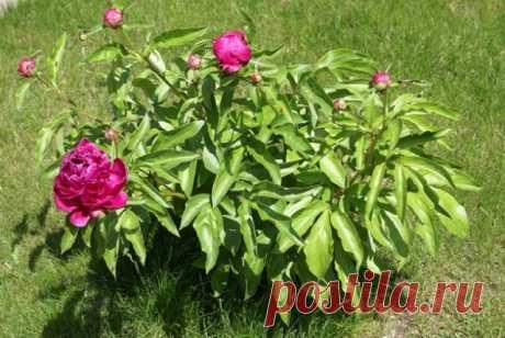 Чем подкормить пионы весной для пышного цветения | Пионы (Огород.ru)