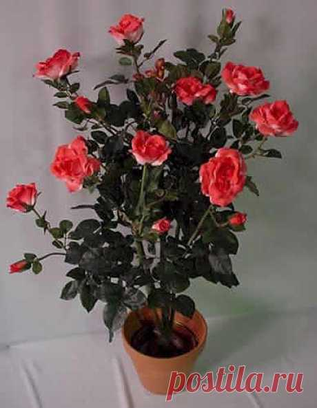 Комнатная роза: тонкости ухода | САД НА ПОДОКОННИКЕ