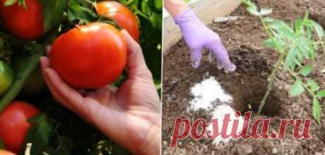 Высаживая помидоры в грунт, нужно кое-что добавлять в лунку: здоровые кусты с хорошим урожаем обеспечены