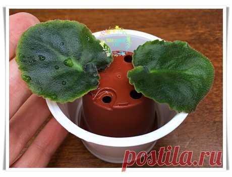 Моё изобретение для укоренения листочков фиалки в воде. Быстро, надёжно, красиво   Палисадничек   Яндекс Дзен