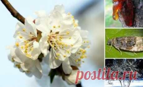 6 причин, почему абрикос весной не цветет     Бело-розовые шапки цветов на абрикосовых деревьях – не только прекрасное зрелище весной, но и залог отличного урожая. Что если после посадки абрикоса прошло несколько лет, а цветения все нет? Дере…