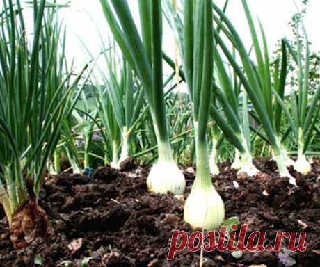Посолите лук на грядке  Какой огородник не мечтает вырастить хороший урожай! Я хочу поделиться некоторыми секретами выращивания лука. Простые приемы помогут вам вырастить луковицы по полкило весом, а в магазин за луком вы е…
