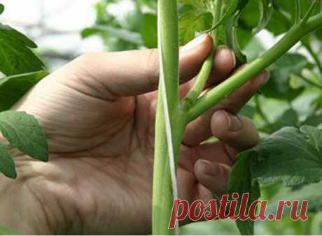 How to prishchipyvat stepsons on cucumbers and tomatoes:: stepsons at cucumbers:: Garden and kitchen garden:: Garden and kitchen garden