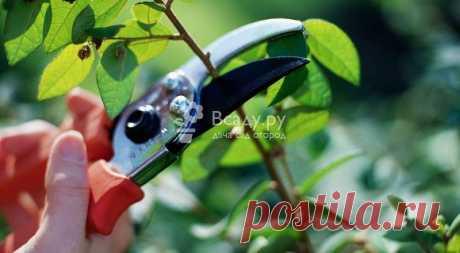 Какие плодовые деревья и кустарники обрезать в сентябре Обрезаем ветки малины и облепихи, ежевики, крыжовника, жимолости и защищаем от грызунов плодовый сад еловыми ветками и глиной