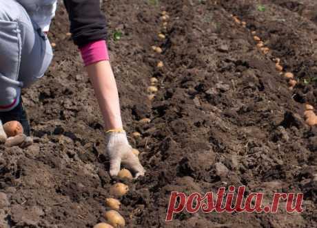 В каком случае стоит отказаться от выращивания картофеля в огороде, совсем или в пользу других культур