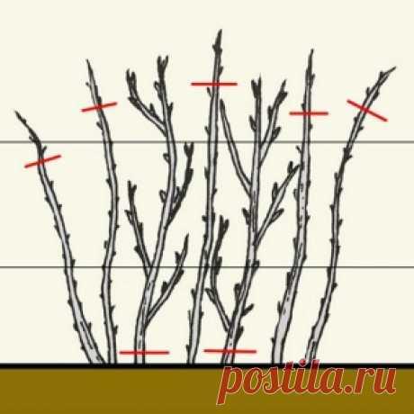 Como cortar correctamente la frambuesa en primavera, el verano y el otoño